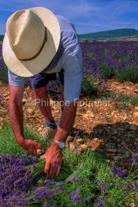 IMG_263295_DROME (26)  FERRASSIERES LE PLATEAU D'ALBION RéCOLTE