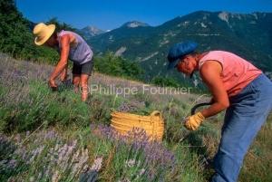 IMG_263320_DROME DIOIS BENEVISE VALLEE DE COMBEAU CUEILLETTE DE