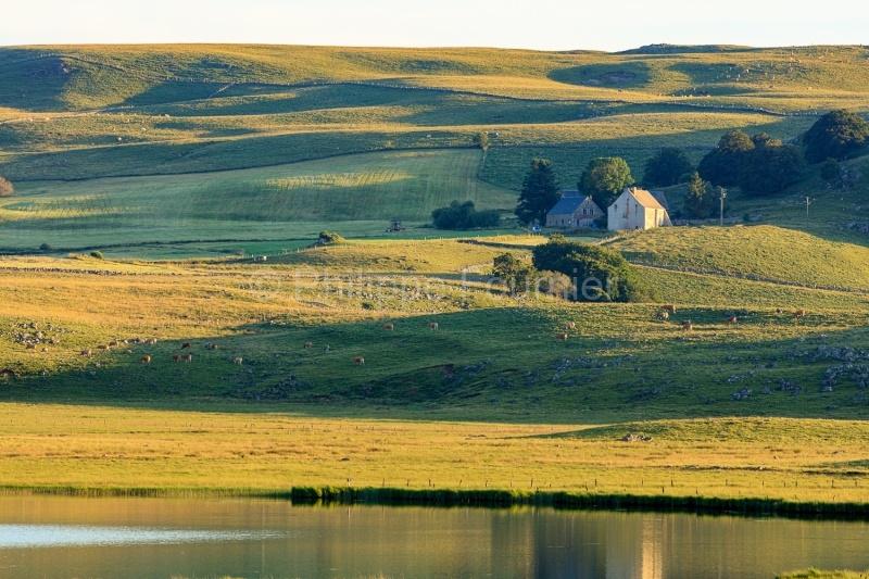 IMG_19077032_Lozère (48)  Marchastel Monts d'Aubrac vache Aubra