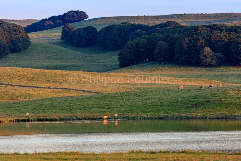 IMG_19077108_Lozère (48)  Marchastel Monts d'Aubrac vache Aubra