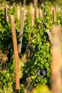 IMG_1909121332_Vaucluse (84)  Gigondas viticulture le vignoble p