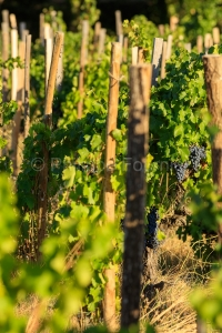 IMG_1909121339_Vaucluse (84)  Gigondas viticulture le vignoble p