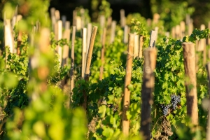 IMG_1909121343_Vaucluse (84)  Gigondas viticulture le vignoble p