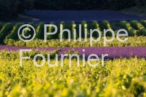 IMG_3045_ARDECHE (07)  LARNAS PLATEAU DE GRAS VIGNOBLE ET LAVAND
