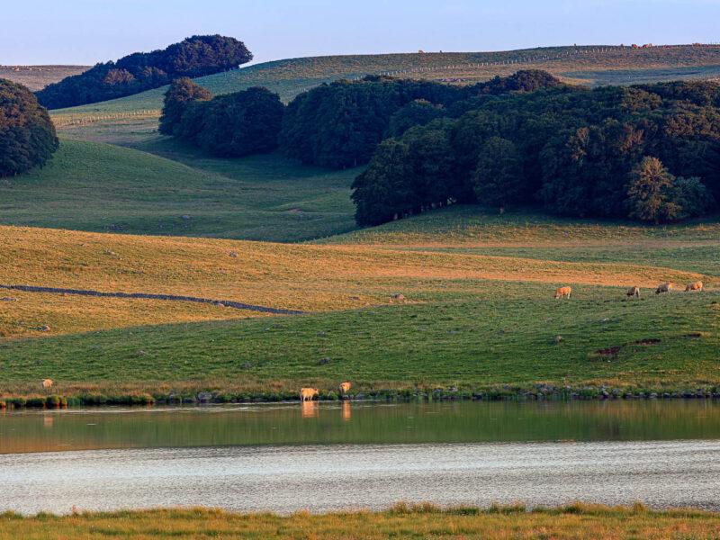IMG_19077108_Lozère (48) Marchastel Monts d'Aubrac vache Aubrac lac de Born_