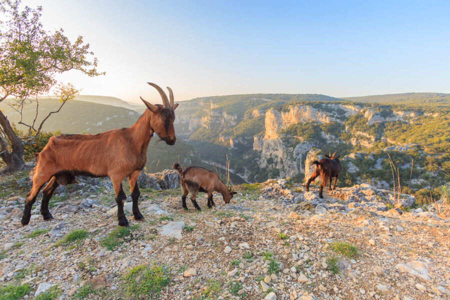 Réserve-naturelle-des-Gorges-de-l'Ardèche–Chèvres-sauvages